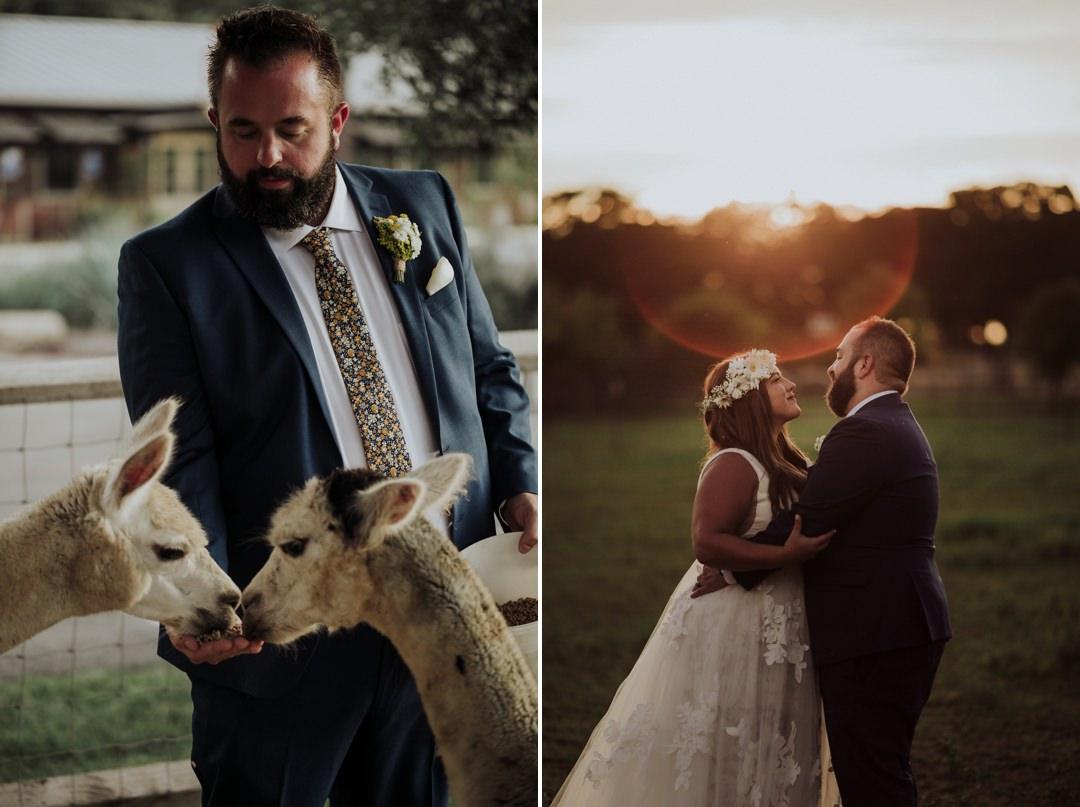 groom feeding alpaca