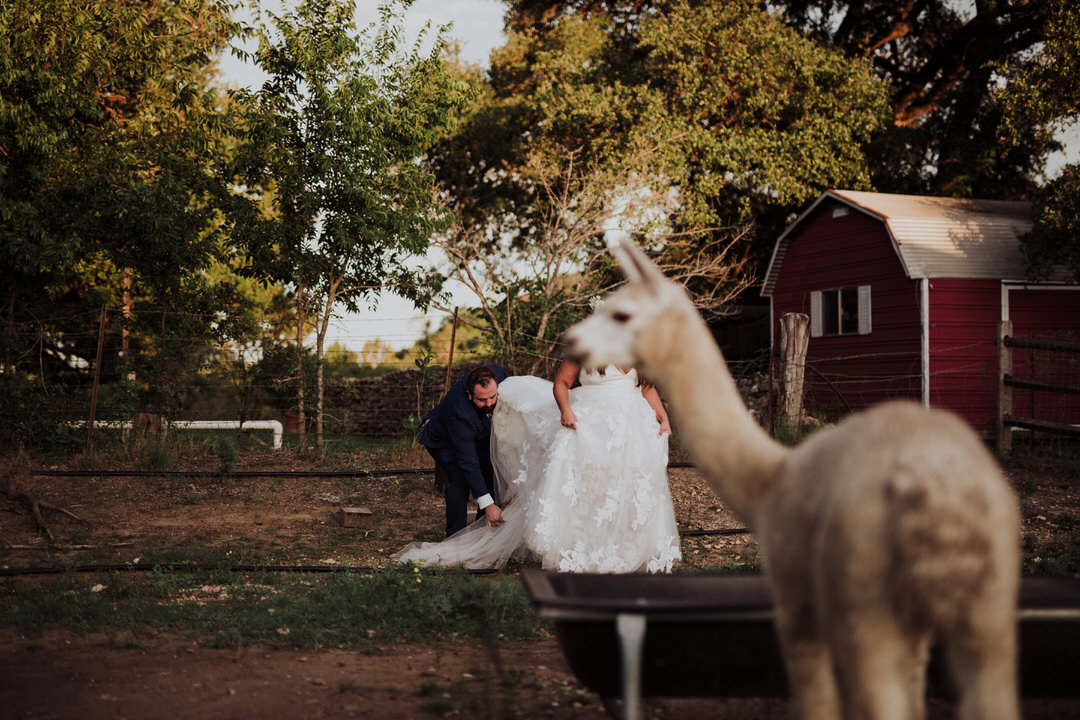 funny alpaca portrait